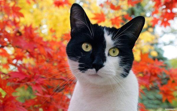 Berühmt de chat noir et blanc GL23