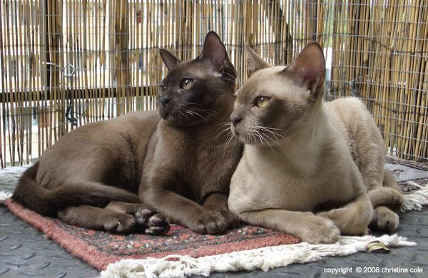 Photo de chats burmese  Centerblog