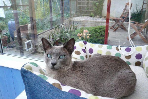 Photo de chat de race tonkinois - Chaton tonkinois ...