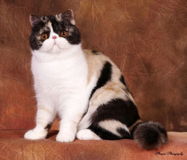 Photo de chat Exotic Shorthair