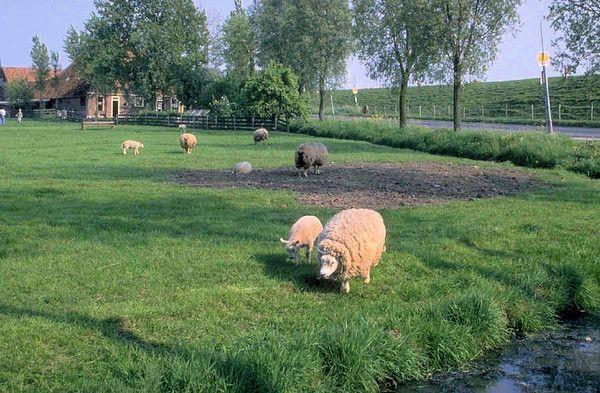 Les chèvres, les biques, les moutons. 4289dc25