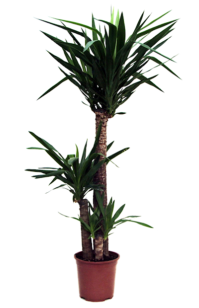 Tube png de plante verte for Plante arbre interieur