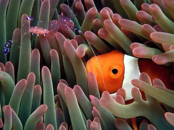 Fond d'écran d'anémone de mer