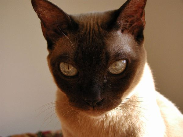 Photo de chat tonkinois centerblog - Chaton tonkinois ...