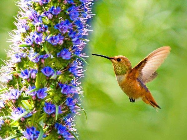 Photo oiseau mouche colibri for Photo oiseau