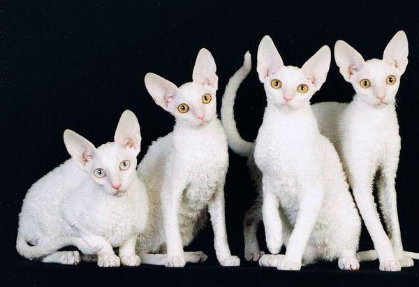 Photos de chatons rex cornish blanc - Chat qui perd pas ses poils ...