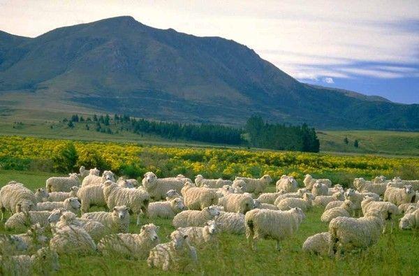 Les chèvres, les biques, les moutons. Ef852a93