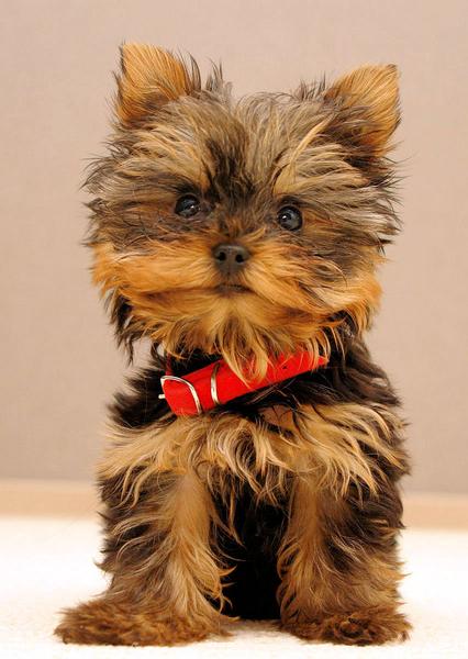 Résultat d'images pour gifs petit chien york