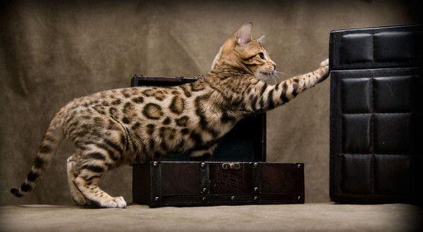 Photo de chat bengale léopard