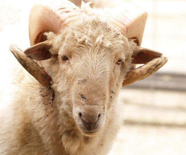 Les chèvres, les biques, les moutons. Fa1a9acc