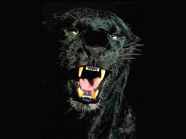 Photo de panthère noire