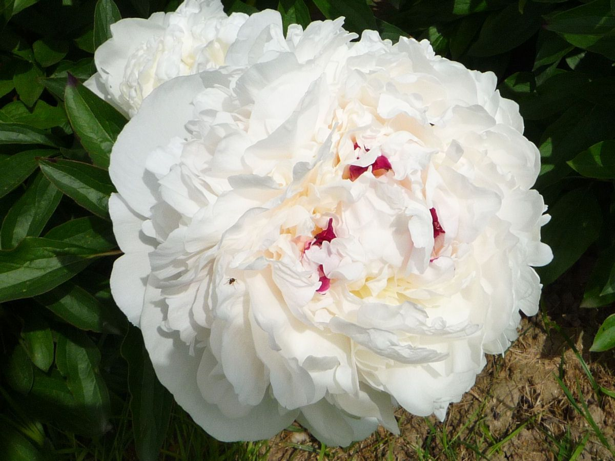 Photo de pivoine blanche - Pivoine blanche signification ...