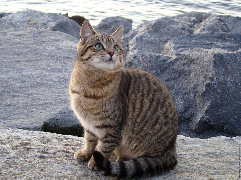 Photo de chat européen à poil court