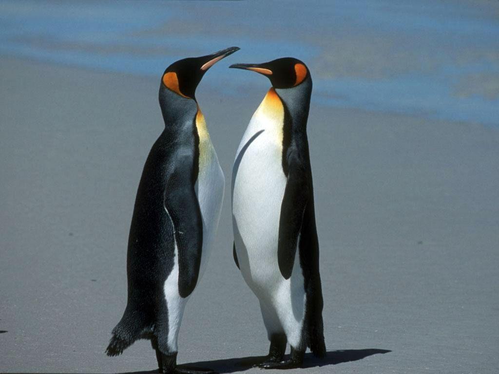 photos de pingouins page 2. Black Bedroom Furniture Sets. Home Design Ideas