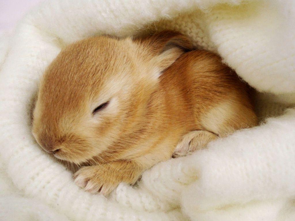 Fonds d'ecran, lapins, lievres