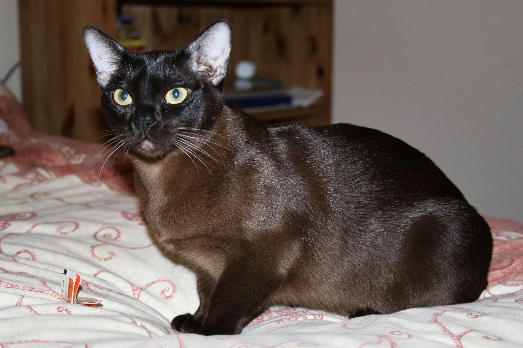 Бурманская кошка фото цена окрасы видео характер