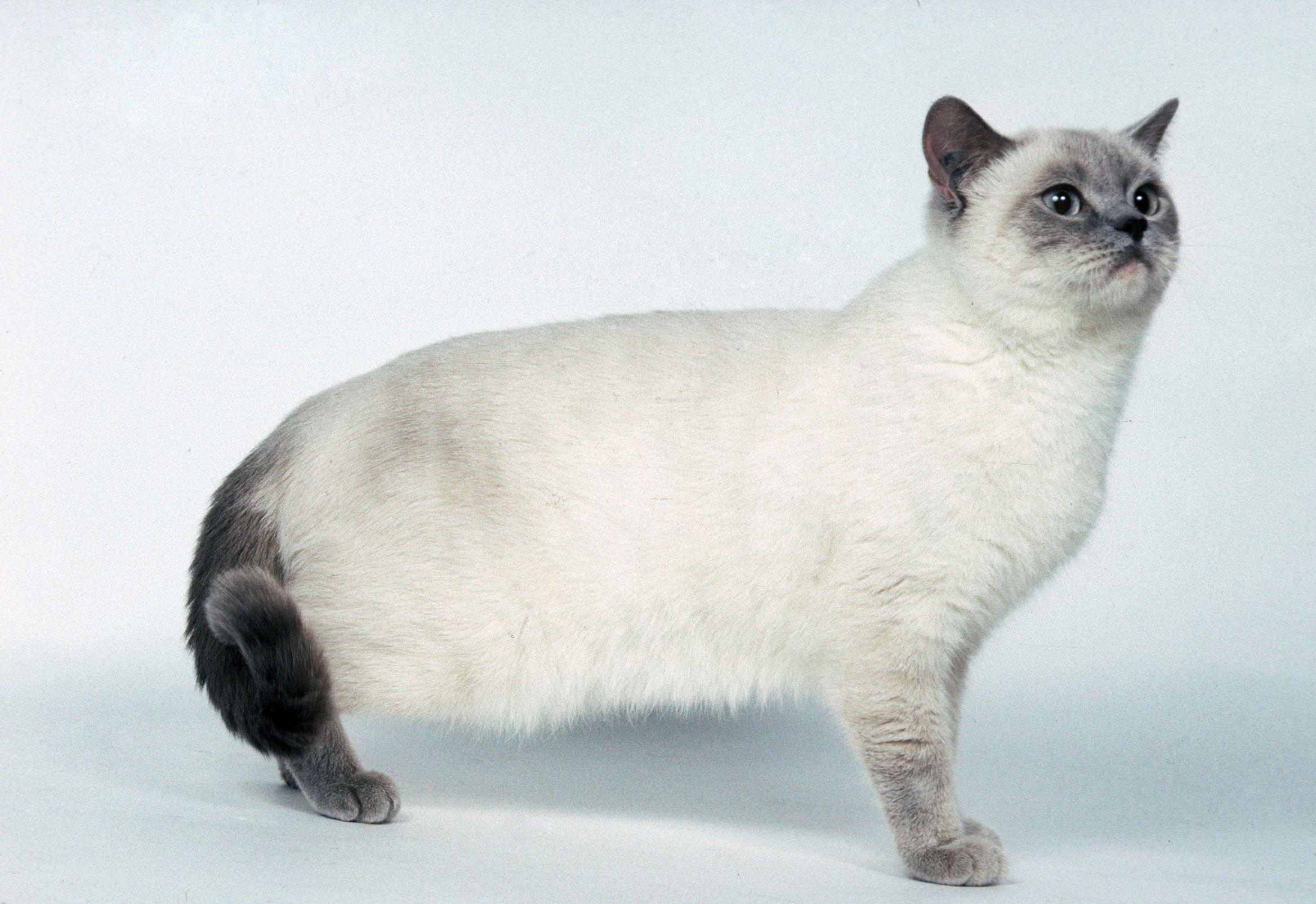 Photo de chat british shorthair colourpoint blue point