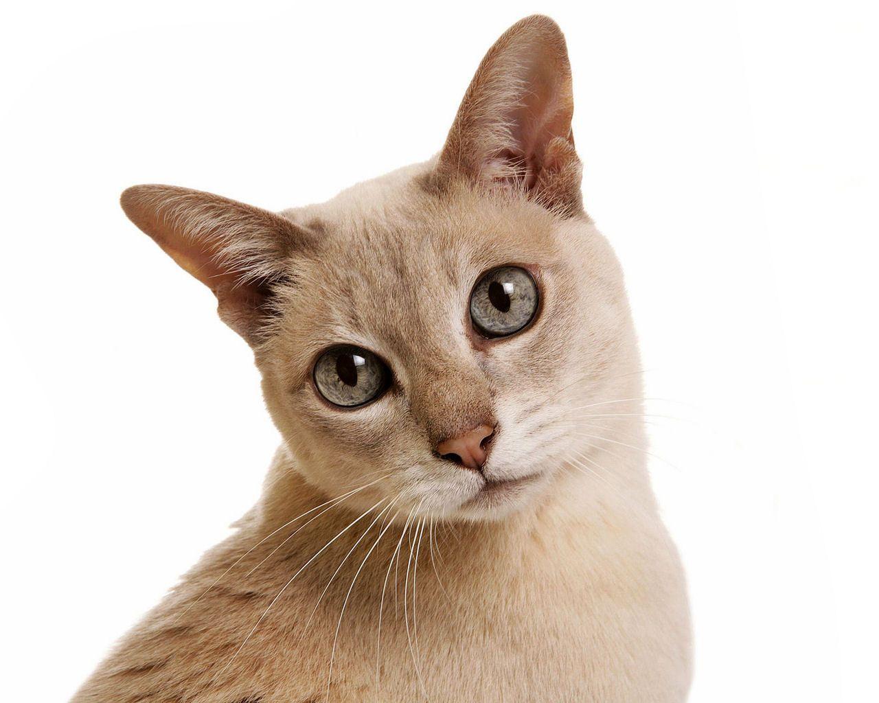 Photo de chat tonkinois cr me - Chaton tonkinois ...