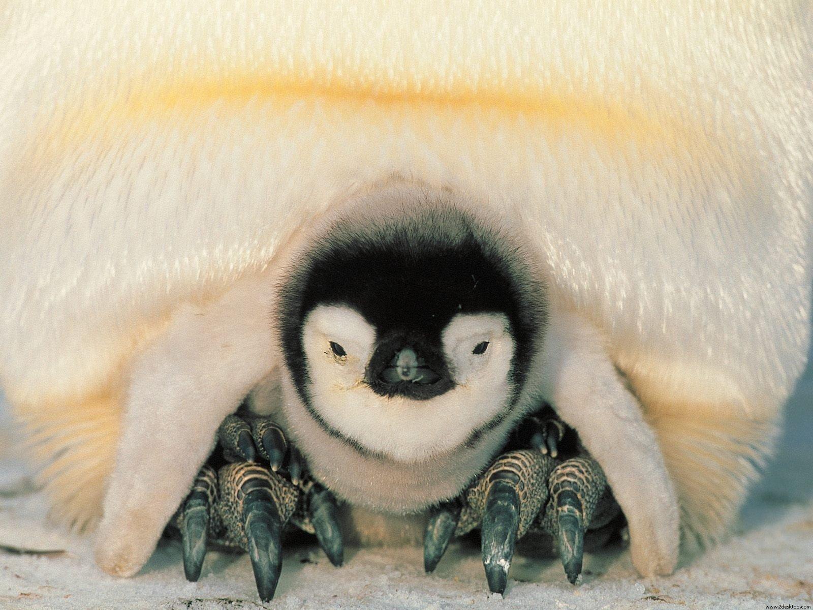 photos de pingouins page 4. Black Bedroom Furniture Sets. Home Design Ideas